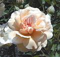 Rosa 'Buff Beauty'.jpg