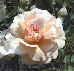 Joseph Pemberton - Image: Rosa 'Buff Beauty'
