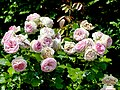 Rosa 'Eden 85' Rosengarten Köln 2017 10.jpg
