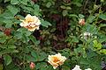 Rosa 'Pearlie Mae'.jpg