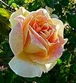 Rosa Helen Hayes 1.jpg