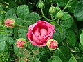 Rosa Lady of Megginch 2019-06-07 1245.jpg