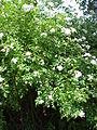 Rosa beggeriana2.jpg