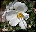 Rosa majalis inflorescence (05).jpg
