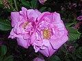 Rosa rugosa Adam Chodun 2016-05-31 2225.jpg