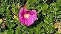 Rosa rugosa inflorescence (23).jpg