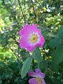 Rosa villosa Bluete BOGA.jpg