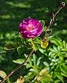 Rose&fruit FR 2014.jpg