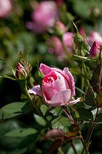 Rose, Carefree Wonder - Flickr - nekonomania (10).jpg