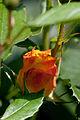 Rose, Goldmarie '84 - Flickr - nekonomania (9).jpg