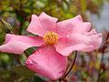 Rose Mutabilis バラ ムタビリス (7169031139).jpg
