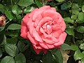 Rose from Lalbagh flower show Aug 2013 8527.JPG