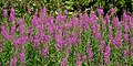Rosebay Willowherb (5915761110).jpg