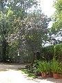 Rosengarten Forst, Perückenstrauch an der Laube beim historischen Haupteingang, Sommer, 01.jpg