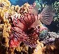 Rotfeuerfisch, lionfisch (рыба-зебра, рыба-лев). DSCF1385BE2.jpg