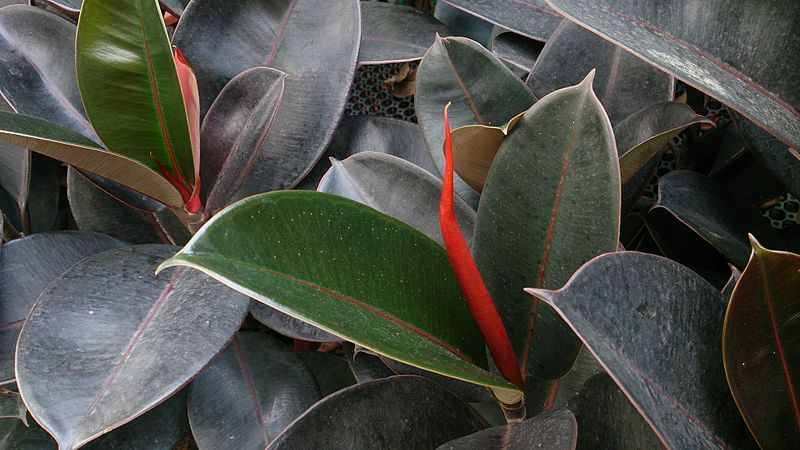 Rubber Plant. Credit: Wikimedia Commons