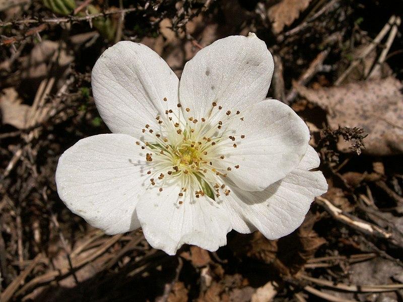 File:Rubus cha male.jpg
