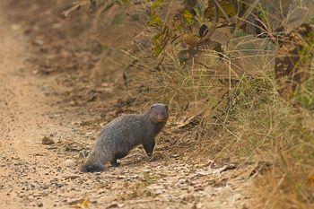 Ruddy Mongoose-6919.jpg