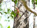 Rufous Woodpecker - Apr07 027.jpg