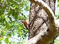 Rufous Woodpecker - Apr07 032.jpg