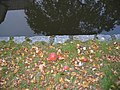 Ruhland, Goethestr. gegenüber Hausnr. 11, Fliegenpilze am Schwarzwasserufer, Herbst, 01.jpg
