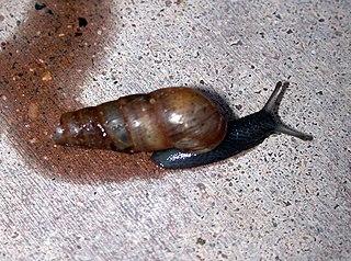 Subulininae family of molluscs