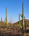 Saguaro National Park (West) 2.jpg