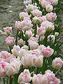 Sakgit Valley Tulip Festival 02.jpg