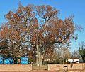Salem Oak - white oak tree in Salem, New Jersey, November 2012.jpg