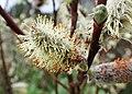 Salix lapponum kz07.jpg