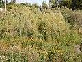 Salix melanopsis (5001877532).jpg