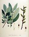 Salix phylicifolia — Flora Batava — Volume v18.jpg