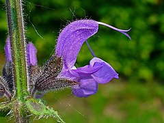 Salvia pratensis 005.JPG