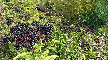 Sambucus nigra (fruits) bushes.jpg