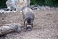 Sanglier des Visayas (Zoo Amiens).JPG
