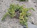 Santorini Grape Vine struggles in rocky soil.jpg