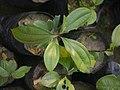Sapling Cinnamomum bejolghota P1140258 01.jpg