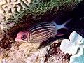 Sargocentron diadema 2.jpg