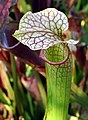 Sarracenia 'Judith Adrian' (6104181371).jpg