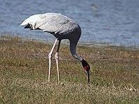 Saus Crane I IMG 8663.jpg