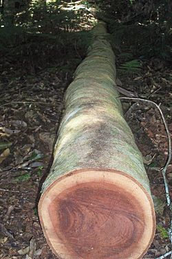 Sawn log - Werrikimbe National Park.jpg