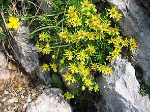 Fetthennen-Steinbrech (Saxifraga aizoides)