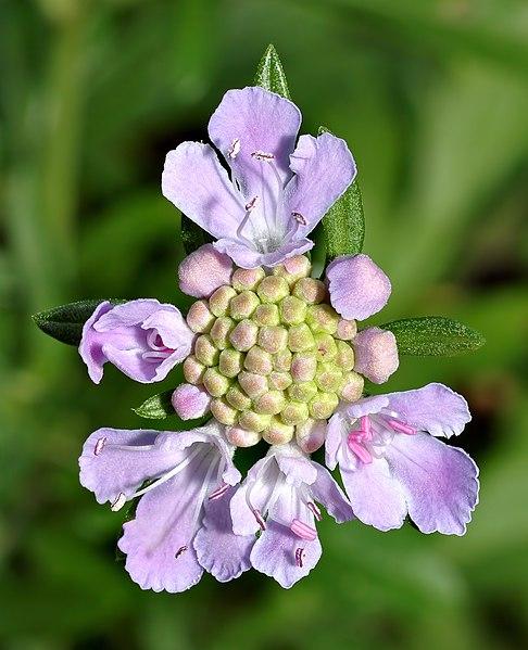 ファイル:Scabiosa japonica - blossom (aka).jpg