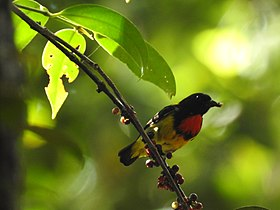 Scarlet-breasted flowerpecker (Prionochilus thoracicus) of Pelawan Forest, Namang Village, Bangka Island, Indonesia.jpg