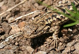 Sceloporus occidentalis.jpg