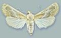 Schacontia ysticalis - ZooKeys-291-027-g001-5.jpeg