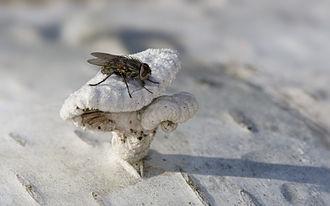 Polleniinae - male Pollenia on Schizophyllum commune fungus growing on Betula