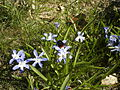 Scilla forbesii flowers and a bumblebee.JPG