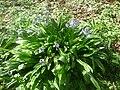 Scille lis-jacinthe.jpg
