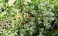 Scleranthus perennis inflorescence (22).jpg